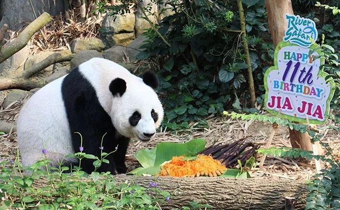 大熊猫凯凯嘉嘉过生日啦!看新加坡怎么给他们庆生~