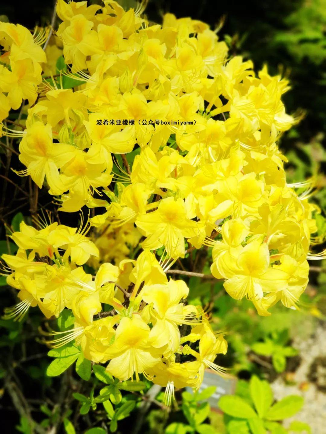 滨海湾花园首次杜鹃花展,带你领略纯洁的爱情
