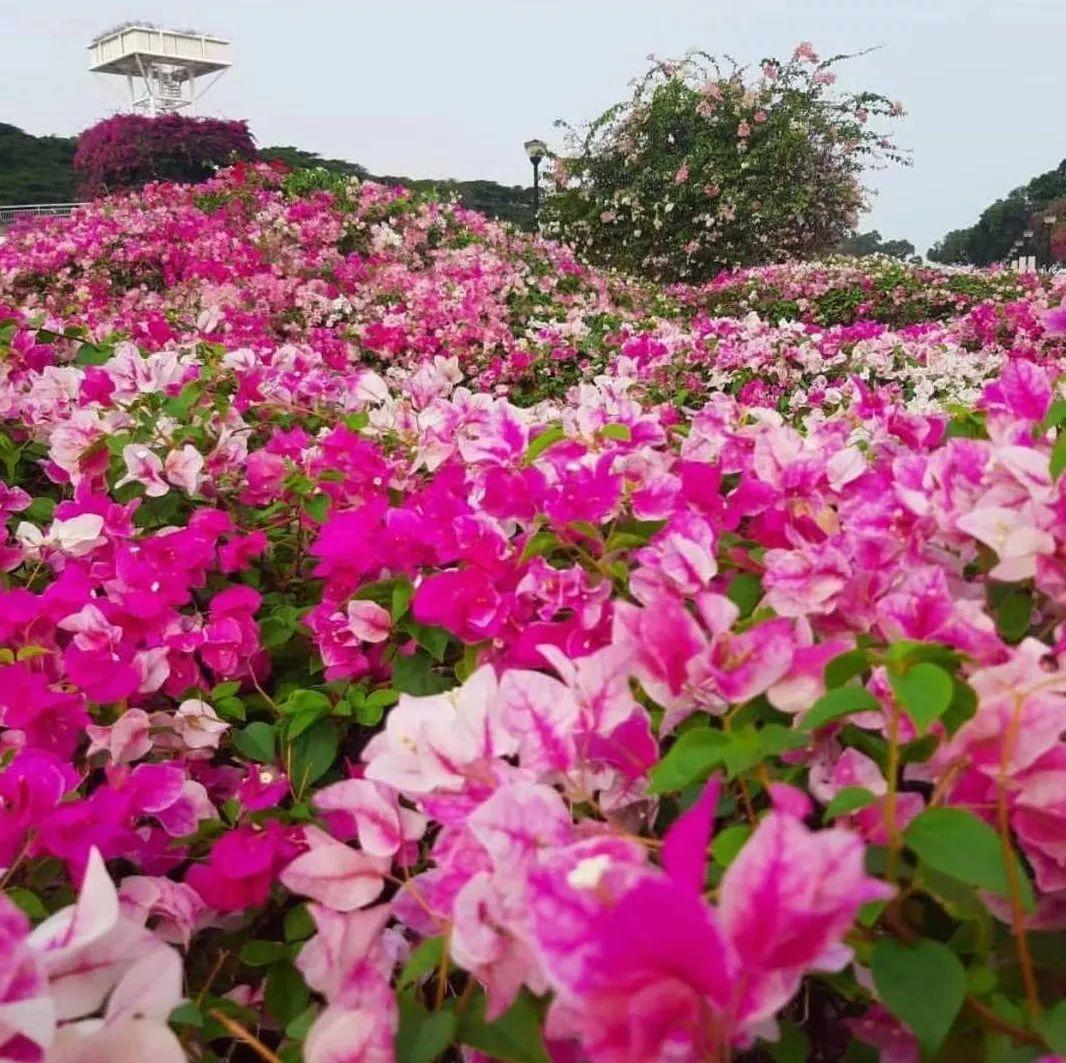 忽如一夜春风来,新加坡遍地开满鲜花~