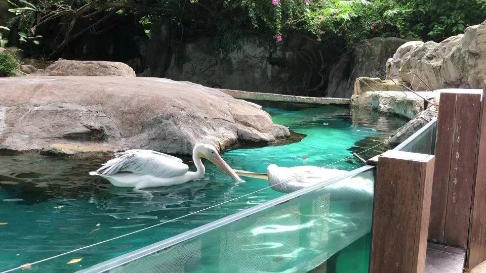 新加坡动物园鹈鹕生死离别,令人泪目