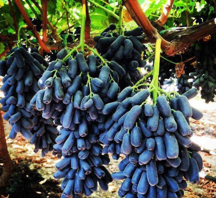 """这""""根""""特别长长长的葡萄,名字居然这么浪漫"""